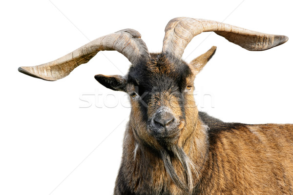 Goat with impressive horns isolated on white Stock photo © Smileus