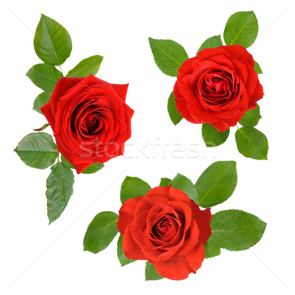 Set of three open red roses with leaves Stock photo © Smileus