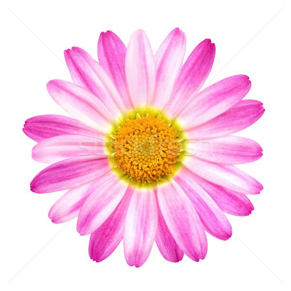 Perfect roze daisy zuiver witte studio Stockfoto © Smileus