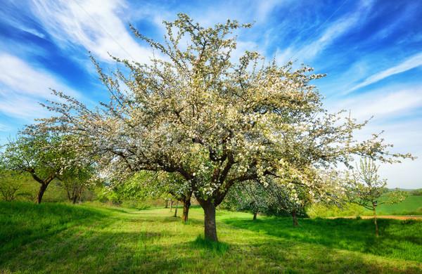 Idilli vidéki táj tavasz tavasz virágzó almafa Stock fotó © Smileus