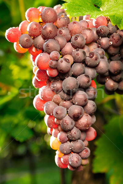 Red grapes glowing in the sunlight Stock photo © Smileus