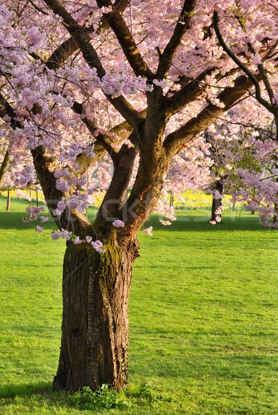 開花 桜 ツリー 芝生 新鮮な 緑 ストックフォト © Smileus