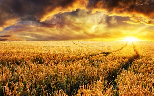 Sunset on a field, focus on foreground plants Stock photo © Smileus