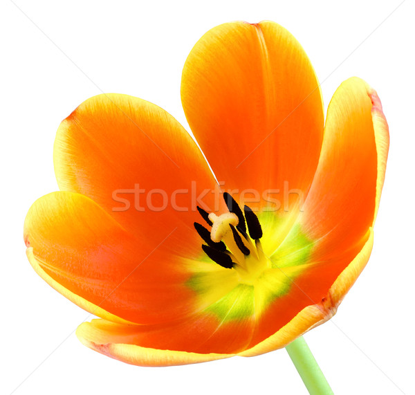 Fully blossomed tulip on white Stock photo © Smileus