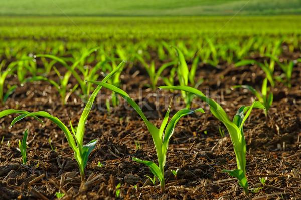 Młodych kukurydza roślin wilgotny dziedzinie Zdjęcia stock © Smileus