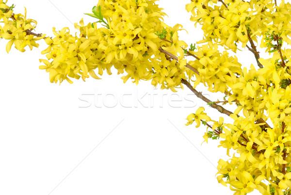 Sınır sarı bahar beyaz bahar çiçekleri Stok fotoğraf © Smileus