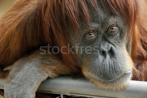 Beautiful orangutan looking into the camera Stock photo © Smileus
