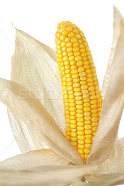 Whole corn cob with husk Stock photo © Smileus