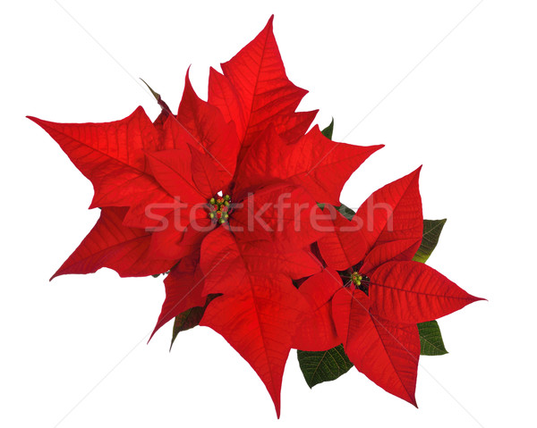 Poinsettia isolated on white Stock photo © Smileus