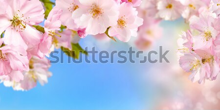 Stock photo: Cherry blossoms background