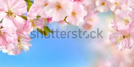 Niebieski różowy szeroki jasne wibrujący Zdjęcia stock © Smileus