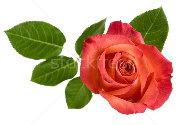 先頭 表示 孤立した 赤いバラ 葉 美しい ストックフォト © Smileus