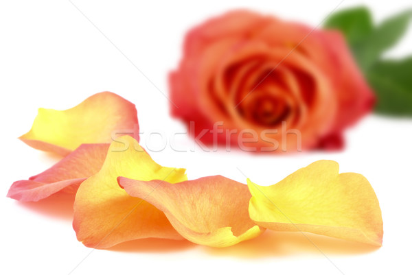 Beautiful petals in front of a rose Stock photo © Smileus