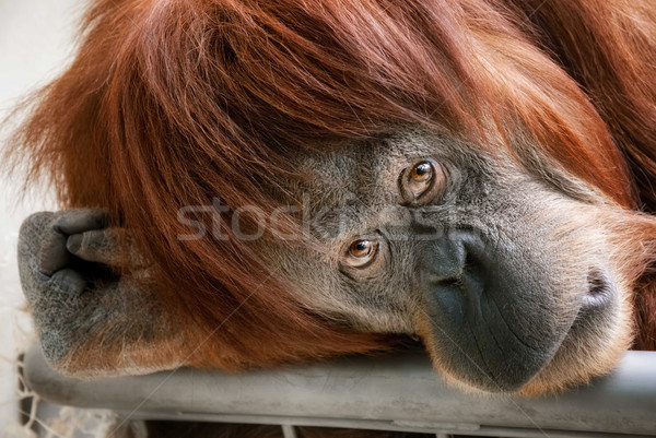 Stock photo: Beautiful orangutan looking into the camera