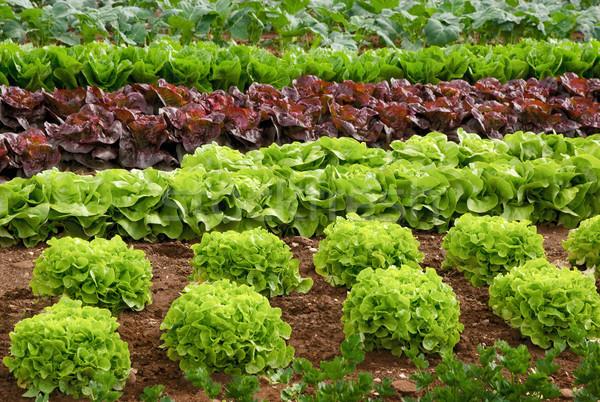 レタス フィールド 新鮮な 植物 ストックフォト © Smileus