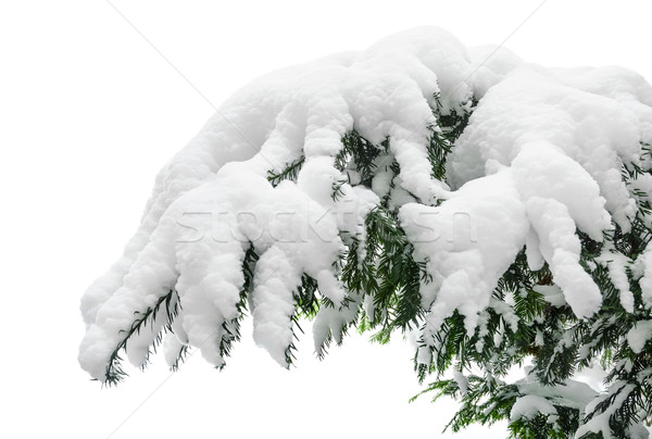 Stock photo: Snow covered fir branch
