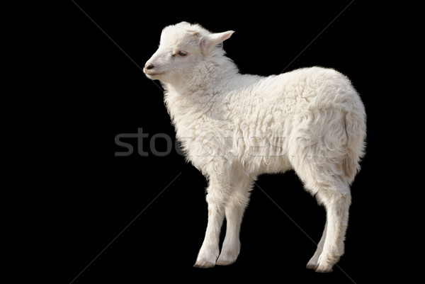 Cute fluffy lamb on black background Stock photo © Smileus