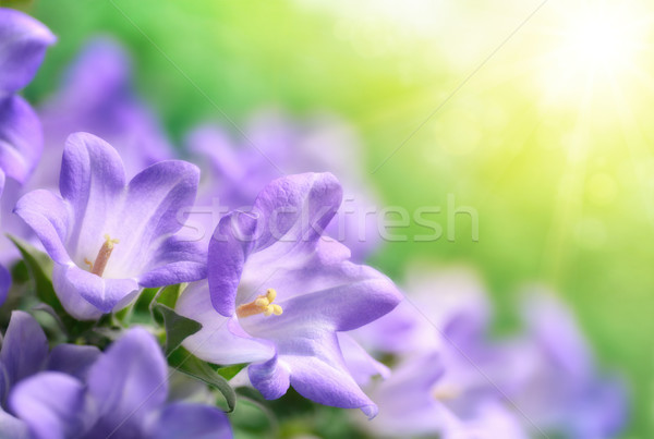Campanula bells in beautiful sunshine Stock photo © Smileus