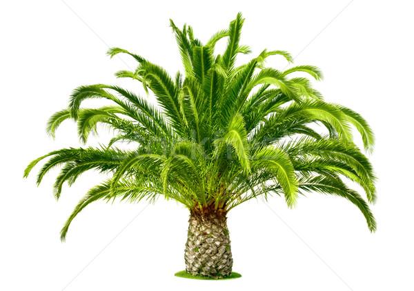 Perfect palm tree isolated on white Stock photo © Smileus