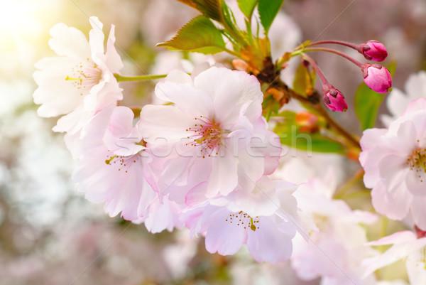 夢のような 春 クローズアップ 日本語 桜 ストックフォト © Smileus