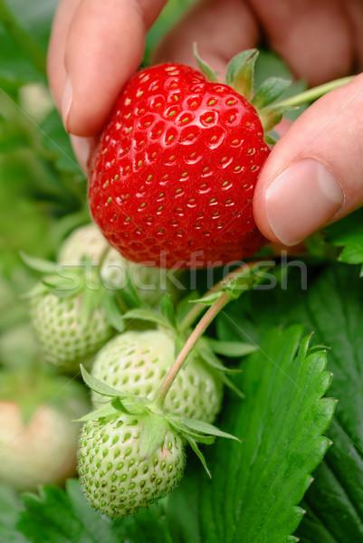 Dojrzały truskawki soczysty świeże zielone jagody Zdjęcia stock © Smileus