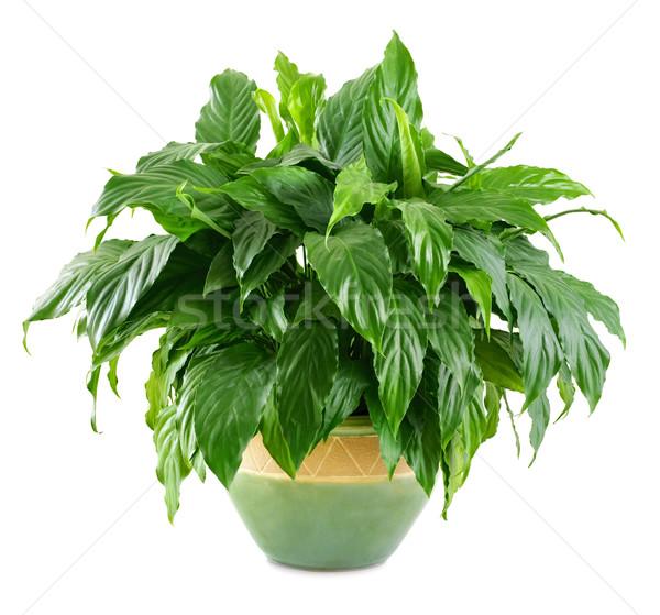 Exuberante brillante planta agradable olla Foto stock © Smileus
