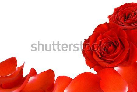 красные розы лепестков границе белый копия пространства два Сток-фото © Smileus