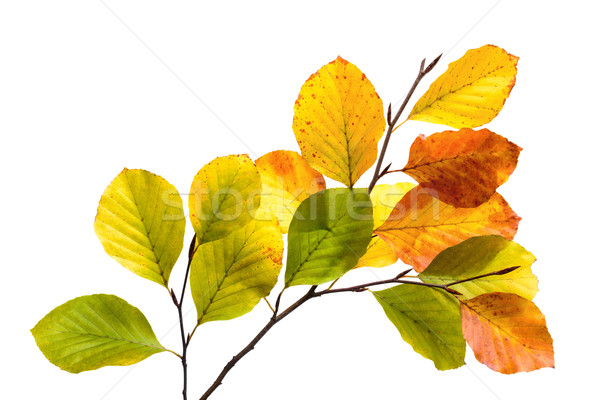 Colorful beech tree leaves isolated on white Stock photo © Smileus