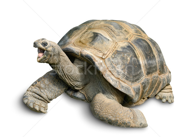Happy Giant tortoise on white Stock photo © Smileus