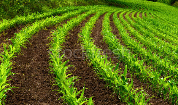 Curved rows of young corn plants Stock photo © Smileus