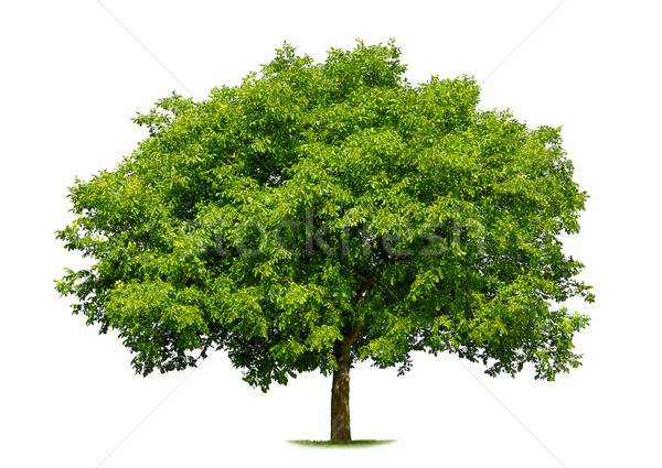 Beautiful deciduous tree on white Stock photo © Smileus