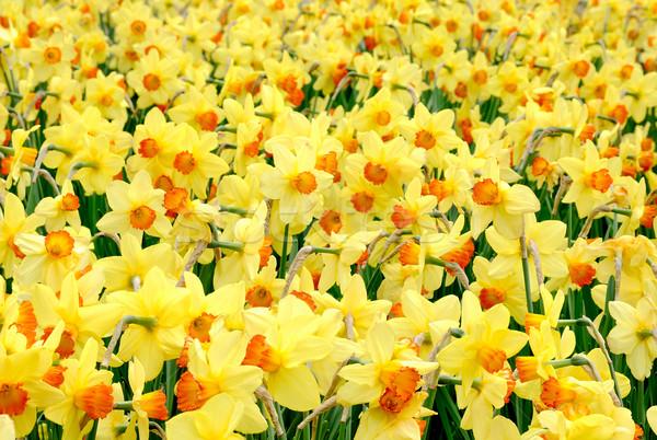 желтый радости весна Открытый выстрел нарциссов Сток-фото © Smileus