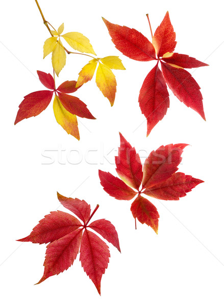 Delicate arrangement of autumn leaves Stock photo © Smileus
