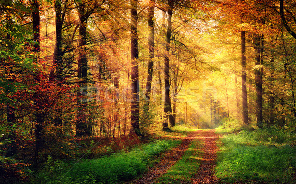 Autumn forest scenery with rays of warm light Stock photo © Smileus