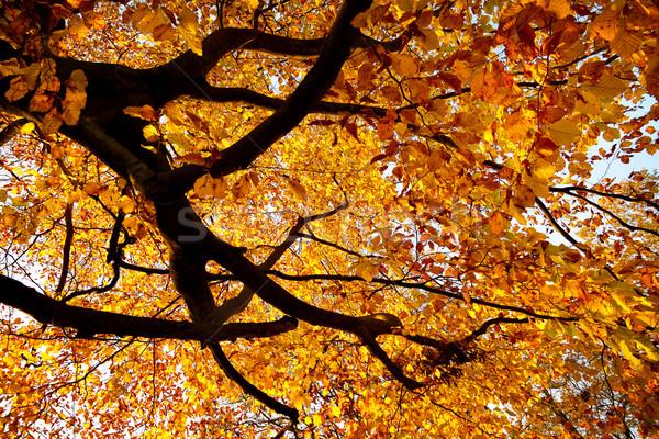 Golden autumn Stock photo © Smileus