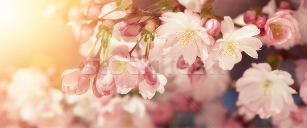 Cherry blossoms in retro-styled colors Stock photo © Smileus