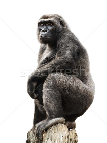 Gorilla on tree trunk, isolated Stock photo © Smileus