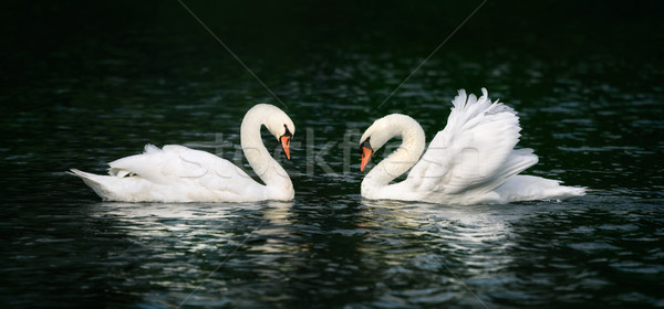 Two swans shining on dark water Stock photo © Smileus