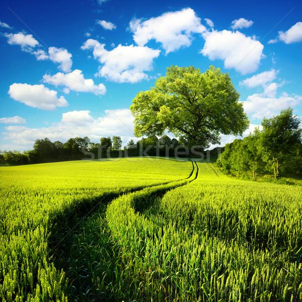 のどかな 風光明媚な 緑 麦畑 ストックフォト © Smileus