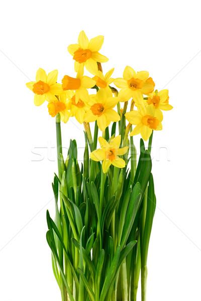 Stockfoto: Narcissen · geïsoleerd · witte · heldere
