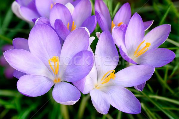 Krokus kwiaty wiosną zewnątrz shot Zdjęcia stock © Smileus