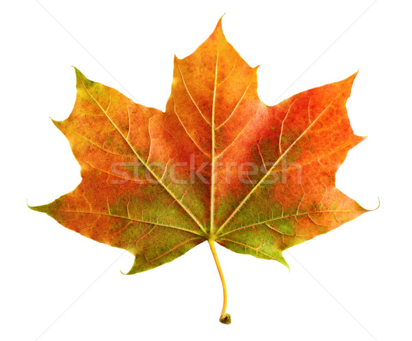 Perfect colorful autumn leaf Stock photo © Smileus