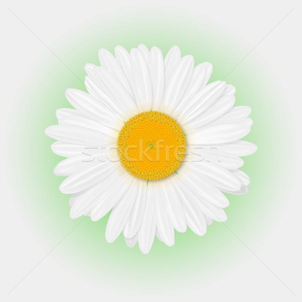 Camomila isolado realista margarida flor branco Foto stock © smoki