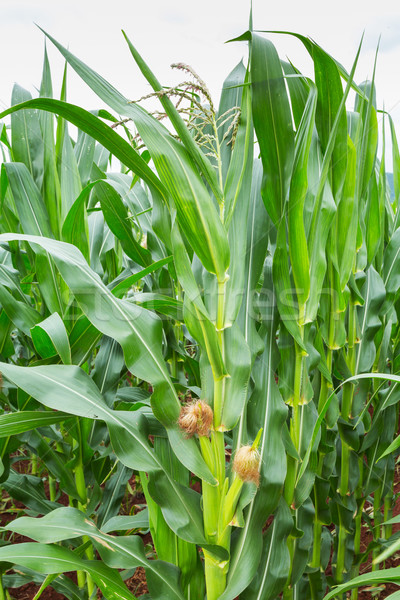 Corn plantation in Thailand Stock photo © smuay