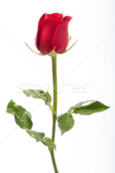 Red rose with water droplet Stock photo © smuay