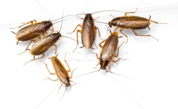 Cucaracha aislado blanco textura negro Foto stock © smuay
