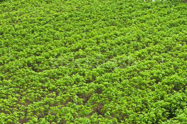 Mulberry farm Stock photo © smuay
