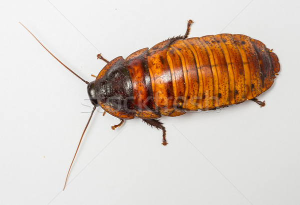 madagascar cockroach Stock photo © smuay