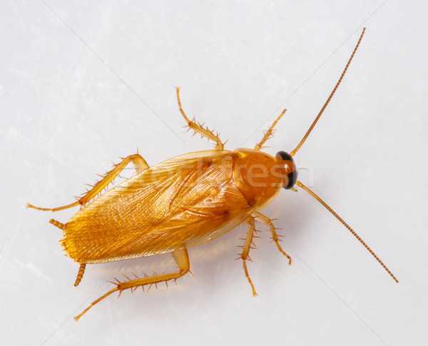 Foto stock: Cucaracha · aislado · blanco · textura · naturaleza · cocina