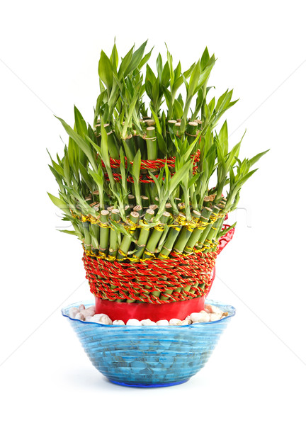 Natural lucky bamboo in glass bowl  Stock photo © smuay